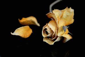dzień kobiet, róża, kwiat, biały wiersz, miłość